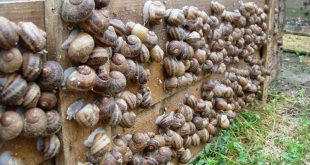 Sefrou les jeunes intéressent de plus en plus élevage des escargots