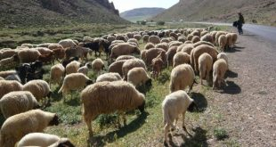 Le retard des pluies oblige les éleveurs marocains à vendre leurs bétails