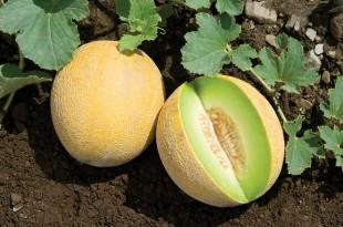 Espagne: La filière des melons est en crise
