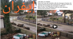 Covid19: Alerte «Fake news» au sujet de l'invasion du sanglier à Ifrane et à sidi Boughaba