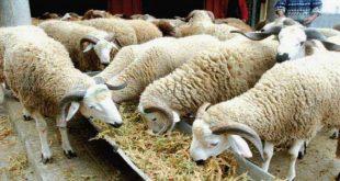 Meknès-Lancement-du-plan-de-sauvegarde-du-bétail-avec-9.000-qtx-d-orge-subventionnée