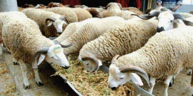 Jerada : la vague de froid compromet les activités des éleveurs