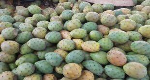 Les figues de Barbarie pourraient être la nourriture du futur