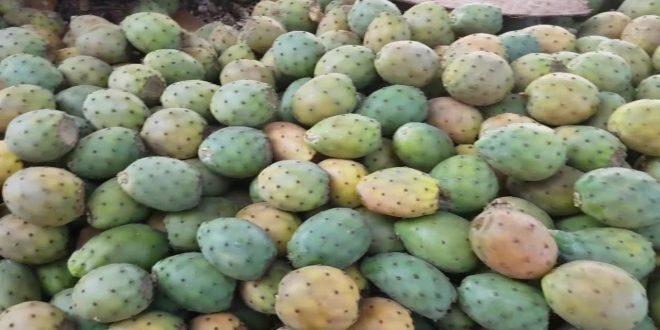 Figues de barbarie : La cochenille du cactus fait hausser les prix