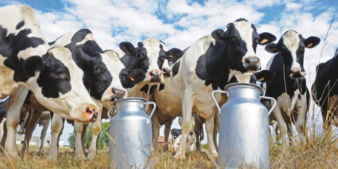 Maroc filière bovine encadrement des éleveurs