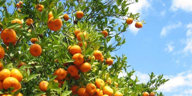 Souss-Massa-71-MDH-de-prime-à-l-exportation-au-profit-des-agrumiculteurs