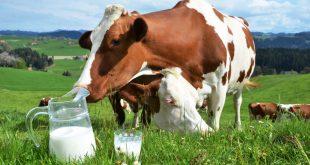 maïs ou herbe pour nourrir les vaches étude