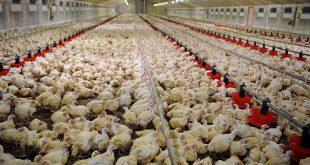 Covid-19: L'aviculture marocaine connait une perte historique d'1,5 MMDH