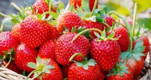 Le Maroc reste le 5ème exportateur mondial de fraises surgelées