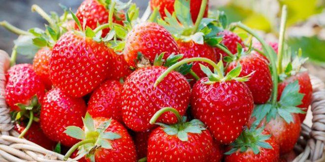 Les effets du silicium en fertigation sur les fraises