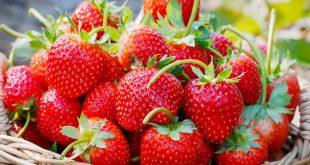 Production mondiale de fraises en hausse de près de 40%