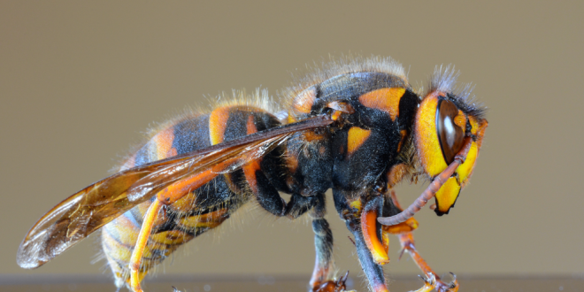 États-Unis-Des-frelons-asiatiques-géants-tuant-les-abeilles-préoccupent-les-apiculteurs