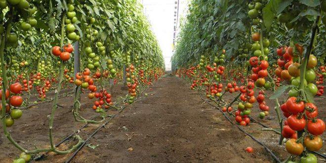 La-Russie-prévoit-une-récolte-record-de-légumes-de-serre-en-2020