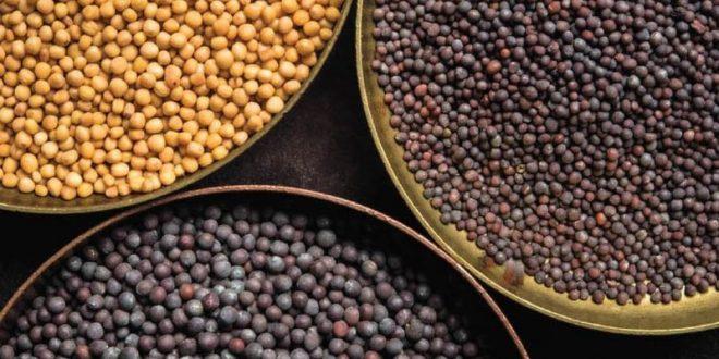 Comment peut-on récolter les graines de moutarde ?