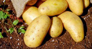 Pomme de terre: Le CPI conserve 60.000 graines par précaution