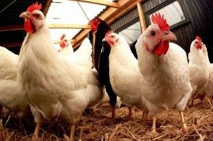 Grippe aviaire: Une menace pour la Chine
