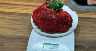 Record des agriculteurs israéliens ont cultivé une fraise pesant 289 g