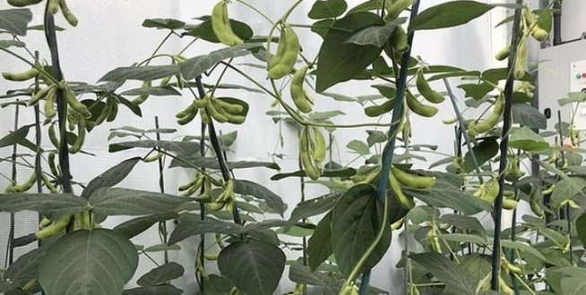 Des scientifiques développent une culture de haricots résiliente au climat