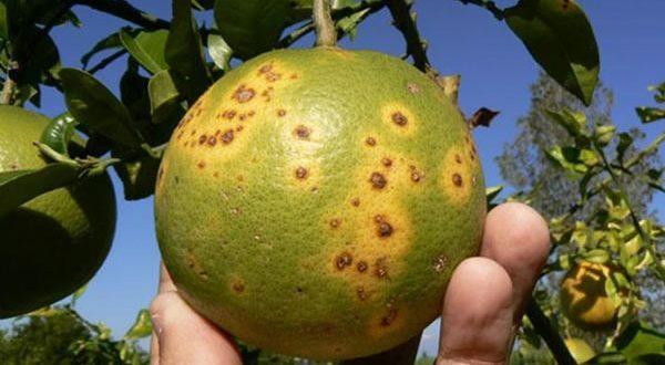 Agrumes États-Unis approuvent un insecticide interdit UE