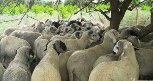 Maroc effondrement du prix du bétail