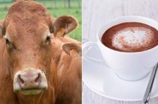 Insolite: Le lait chocolaté vient des vaches marron selon les américains