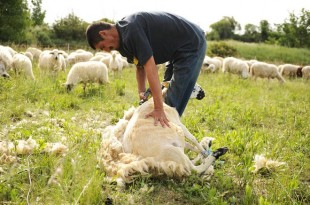 Insolite: 1e record de France de tonte de moutons