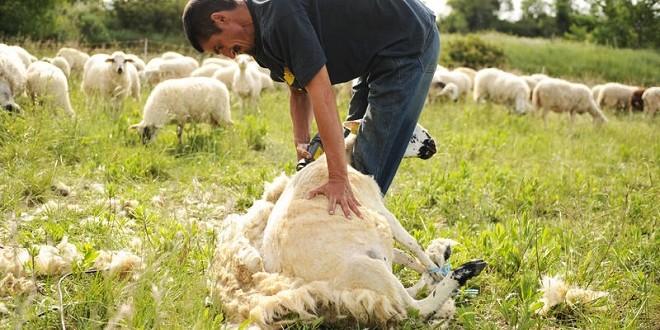 Insolite: 1e record de France de tonte de moutons