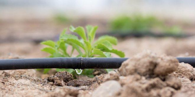 Effets de la densité des émetteurs irrigation goutte à goutte tomate