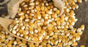 Le Nigéria autorise la culture de maïs transgénique