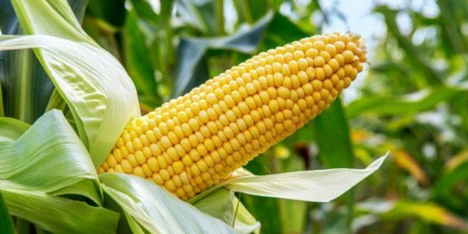 Campagne de maïs décevante en France