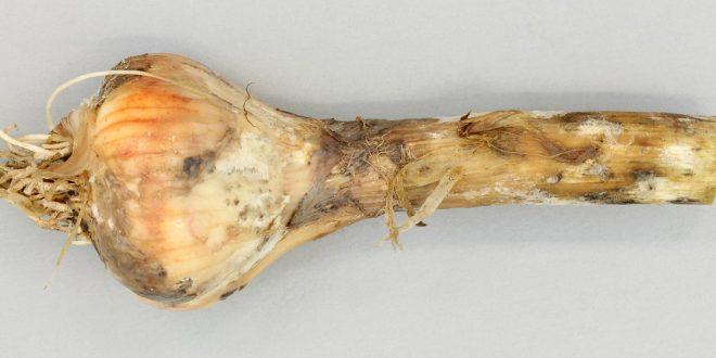 Oignon: Fès entame un plan d'action contre les maladies bactériennes de l'oignon
