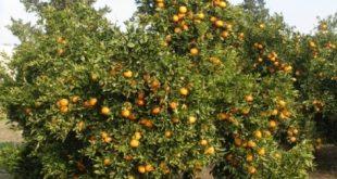 Mandarine Gharbaoui - INRA Maroc