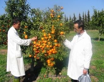 Mandarine Hana - INRA Maroc