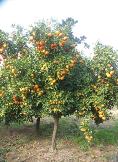 Mandarine Maamora - INRA Maroc