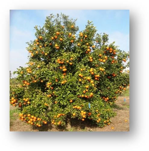 Mandarine Mahdia - INRA Maroc