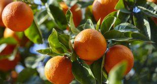 Maroc production agrumes bénéficie une météo clémente