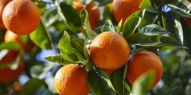Deux nouvelles variétés de mandarines émergent en Argentine