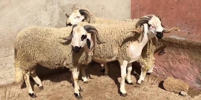 Melilla: Les moutons marocains autorisés à entrer sur le territoire