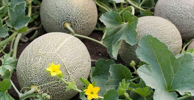 La fertigation durable dans les cultures de melon réduit la consommation eau de 30%