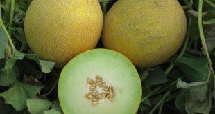 Melons : Le Maroc maintient sa place de 13ème producteur mondial