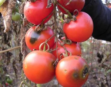 La mineuse de la tomate fait des ravages en Tanzanie