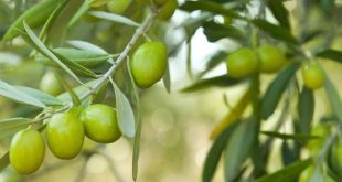 production olives Sefrou