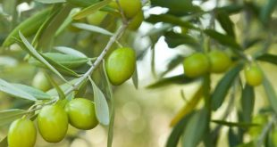 Maroc production agrumes olives dattes