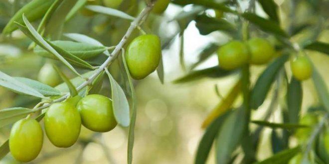 Taounate : extension de la superficie des oliviers de 13000 hectares