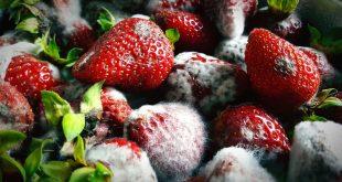 maladie fraise États-Unis