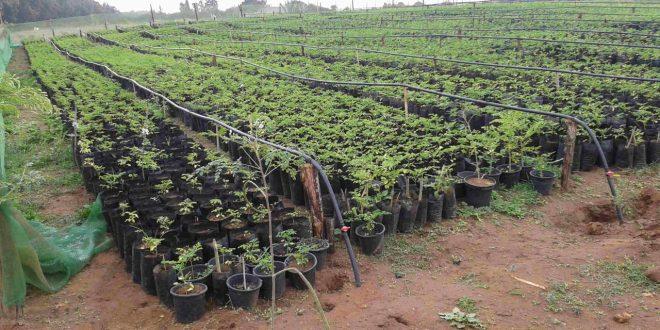 Moringa oleifera : Les étapes pour réussir sa plantation