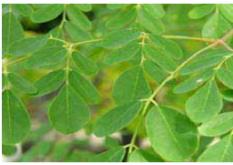 Moringa, feuilles