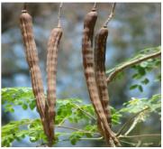 gousses matures de Moringa oleifera