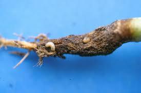 Les moyens de lutte contre la mouche du chou