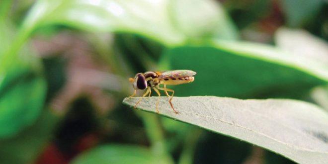 La mouche méditerranéenne permet un contrôle efficace des pucerons dans les fraises